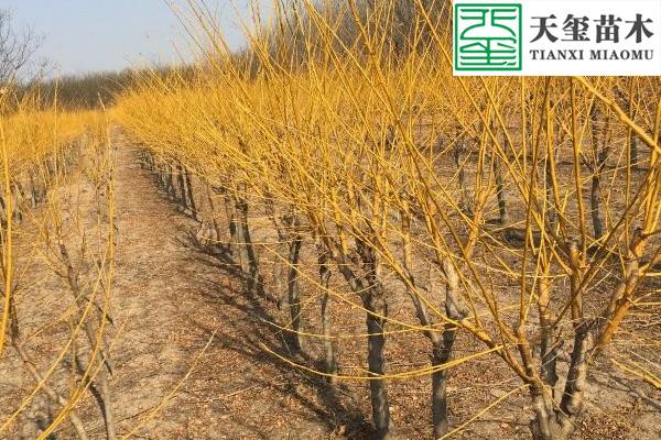 黄金槐树苗价格 图片 产地与金